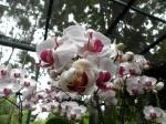 Orquideas Jardin botanico Singapur 3 (Jose Ferri)