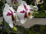 Orquideas Jardin botanico Singapur (Jose Ferri)