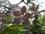 Orquideas Jardin botanico Singapur 2 (Jose Ferri)