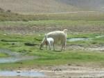 Baby llama (Jose Ferri)