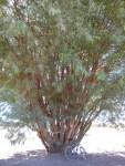 El unico arbol del desierto (Jose Ferri)