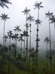 Bosque de palmas de cera (Jose Ferri)