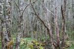 Bosque en Ainsworth (Jose Ferri)
