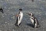 Pingüinos 4 (Jose Ferri)
