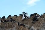 Cormoranes en los nidos (Jose Ferri)
