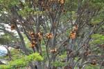 Hongos en arboles de Bahia Wulaia (Jose Ferri)