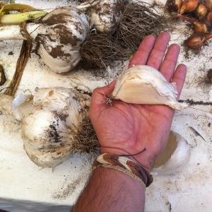 Ajos gigantes de Chiloe_Jose Ferri
