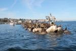 Leones marinos en el espigon de Monterrey_Jose Ferri