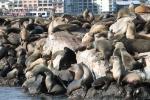 Leones marinos hacinados en Monterrey_Jose Ferri