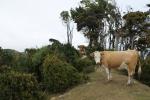 Vacas en el camino al puente de las almas_Jose Ferri